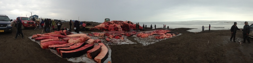 Panorama of Anagi whale being cut up on beach in Browerville, June 27, 2013.