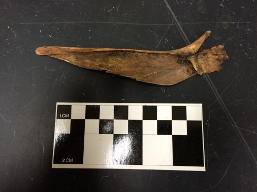 The other side of the really big fish bone.